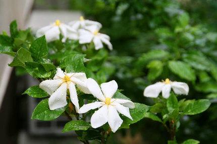 くちなしの花~-061.jpg