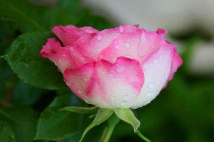 薔薇-~~128.jpg
